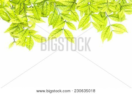 Bright Light Green Leave Spring Summer Season On White Background. Spring Summer Concept.