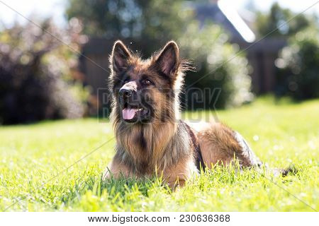 Young German Shepherd Dog Outside On The Lawn