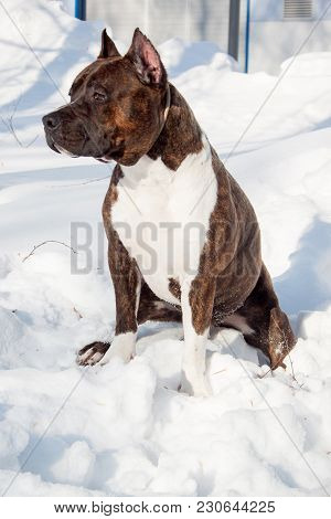 American Staffordshire Terrier Puppy Is Sitting On A White Snow. Ten Month Old. Pet Animals.