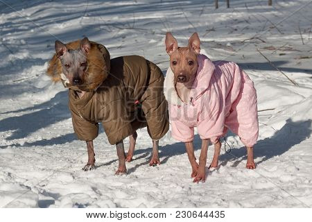Two Cute American Hairless Terrier In Beautiful Overall Are Standing On A White Snow. Pet Animals. S