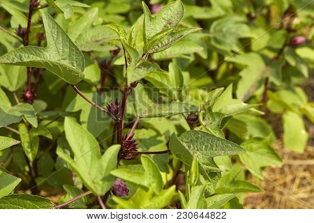 Okra Plant On Agriculture Field, Organic Vegetables Healthy Vegetable, Agricultural Produce