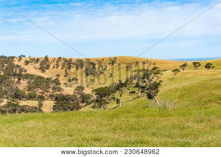 Picturesque Hills With Yellow Dry Grass And Eucalyptus Trees On Sunny Day. Australian Rural Landscap