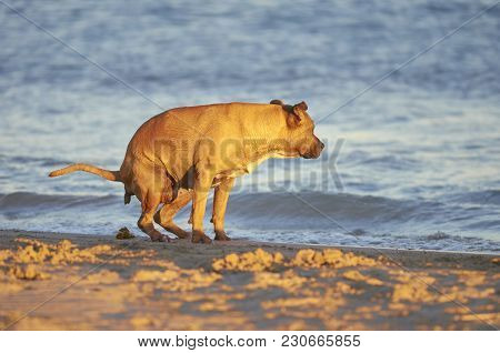 American Staffordshire Terrier Dog Pooing On A Beach
