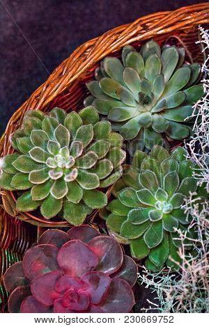 Composition With Succulents. Mini Succulent Garden, Botany