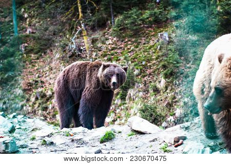 Brown Bear In The Reserve. Brown Bear In A Zoo.  Brown Bear Sitting On A Rock In The Forest