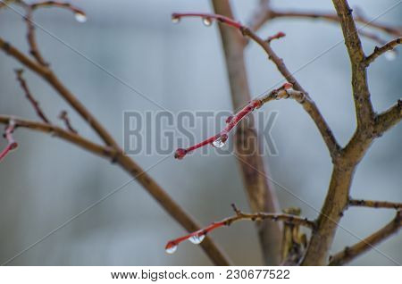 March Twigs - Capricious Weather In Early Spring