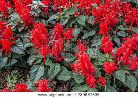 Red Flower In The Garden With Leaf For Decoration, Thailand Garden