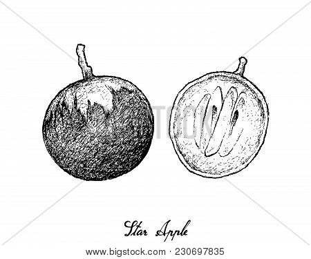 Tropical Fruit, Illustration Hand Drawn Sketch Of Star Apple Or Chrysophyllum Cainito Fruits Isolate