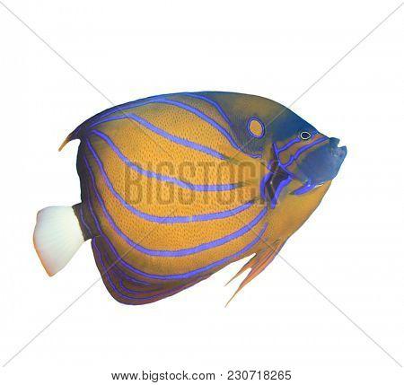 Blue-ringed Angelfish fish isolated on white background