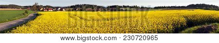 Field Of Rapeseed, Canola Or Colza, In Latin Brassica Napus And Lime Tree,rape Seed Is Plant For Gre
