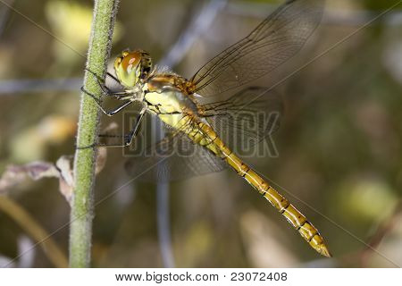 Close view of a female Red-veined Darter (Sympetrum fonscolombii) dragonfly. poster