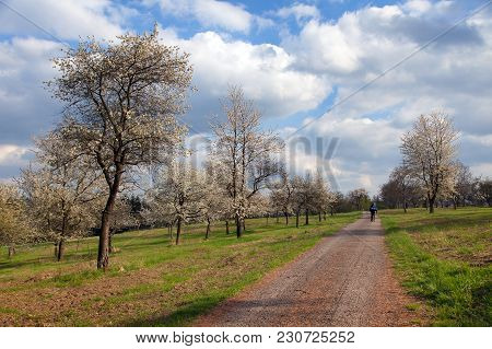 Rural Road And Flowering Trees, Spring Time View