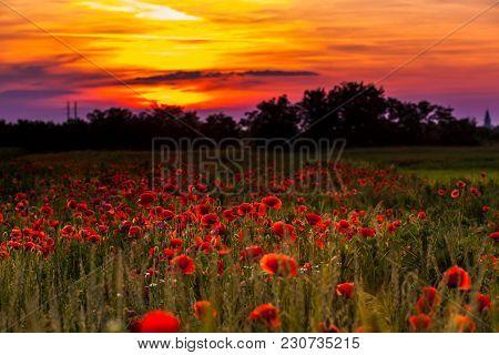 Poppy Fields And Sundown Landscape. Beautiful Nature Summer Vista With Wild Flowers