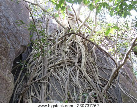 Tropical Tree Trunk And Roots Around Stone. Aerial Roots Of Banyan Tree Climb On Stone.