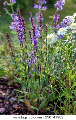 Background Or Texture Of Salvia Nemorosa 'caradonna' Balkan Clary , Nepeta Fassenii 'six Hills Giant