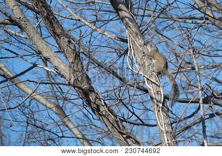 An Eastern Gray Squirrel Climbing A Leafless Tree On A Sunny Day.