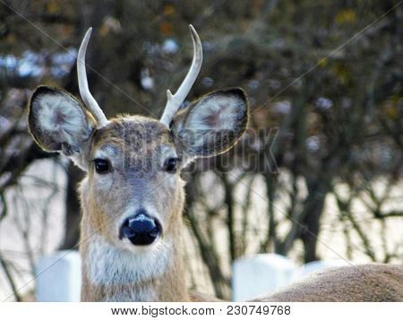 Small Whitetail Buck Deer Waiting To Grow Up