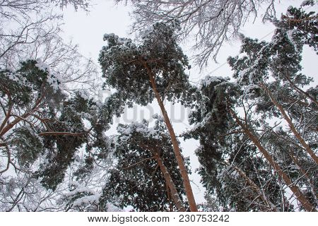 Winter Background. Frosty Branches Of The Winter Pine Trees Against  Sky/ Forest Winter Landscape Sc