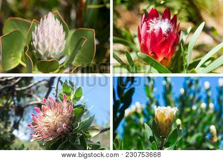 Set Of Four Photos Of Beautiful King Protea In South African Botanical Garden.