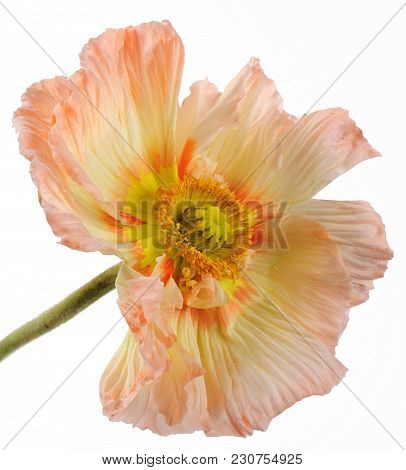 Oriental Poppy (papaver Orientale) Over White Background