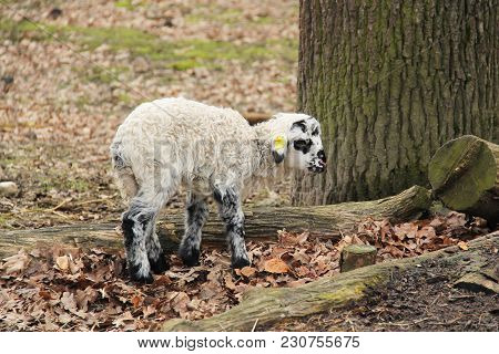 Tiny Lamb With Curly White Fur With Some Black Spots