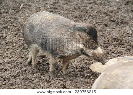 Visayan Warty Pig (sus Cebifrons) In The Mud