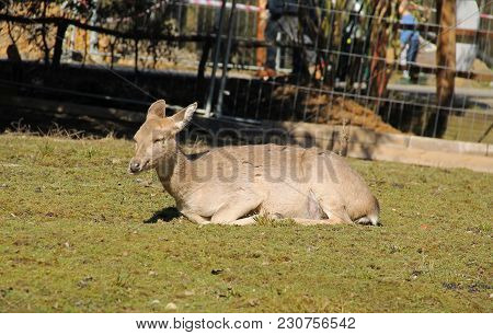 axis deer female having rest in the outdoor enclosure poster