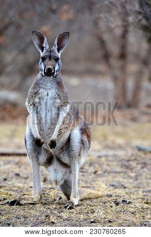 An Adult Eastern Grey Kangaroo Staring Back At The Photographer.
