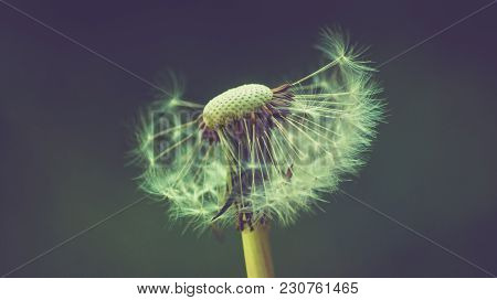 Dandelion Flower With Seeds Being Bown Away By The Wind