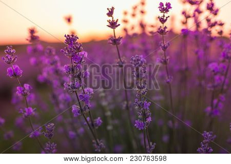 Soft And Blurry Focus Of Lavender Flowers Under The Sunrise Light. Natural Field Closeup Background