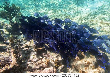Shoal of blue fishes in the Caribbean Sea of Mexico