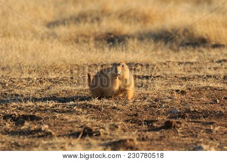 A Black Tailed Prairie Dog Foraging For Food At The Wichita Mountains Wildlife Refuge Located In Ind