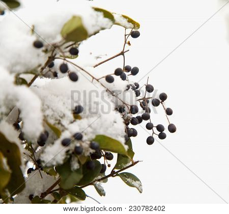 Berries Of A Hedge With Snow