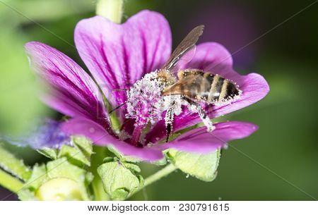 Bee On A Purple Flower. Macro . In The Park In Nature