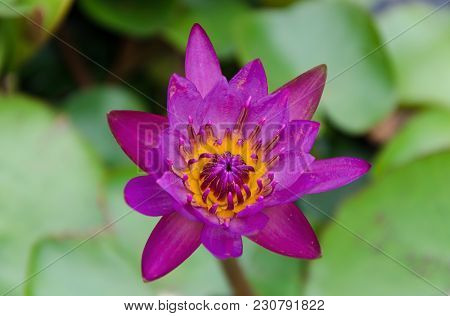 Bright Pink Water Lily Flower With Yellow Pollen. Water Lily On Top Veiw