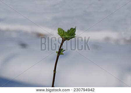 A Branch With Blossoming Buds Against The Background Of Snow, The End Of Winter.