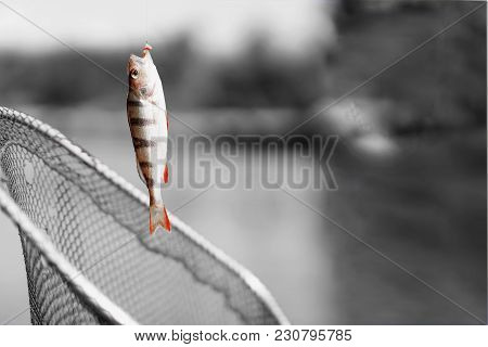 Trophy Fishing. Small Bright Goldfish On Fishing Line On Black And White Background. Concept Luck, F