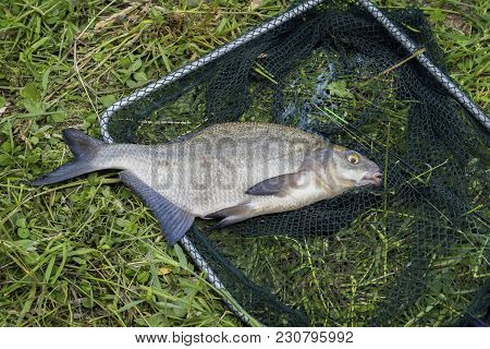 Big Caught Fish, Bream In Fisherman's Nets In Grass. Concept Of Successful Fishing, Luck, Fortune, S