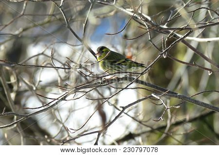 A Siskin Sits On A Tree Banch In A Sunny Day