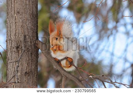 Eurasian Red Squirrel (sciurus Vulgaris) From The Altai Gnaws The Nut, Holding The Branch With Its H