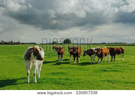 Cows Grazing On Grassy Green Field. Countryside Landscape With Cloudy Sky, Pastureland For Domestica