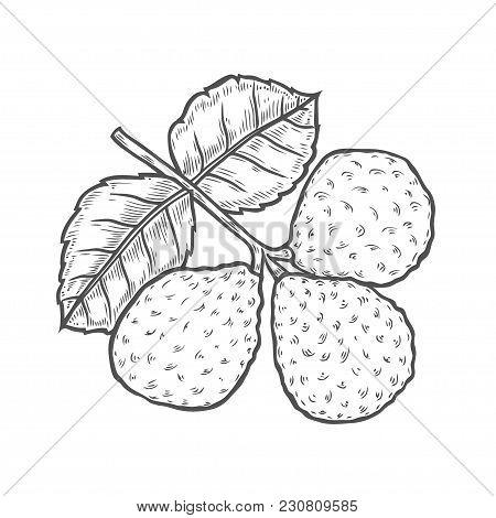 Bergamot Engraved Style Kaffir Lime. Vector Illustration. Isolated On White
