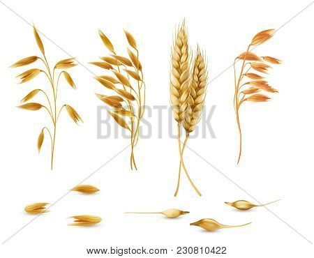 Vector Realistic Set Of Cereal Plants, Oat Spikelets, Barley Ears, Wheat Or Rye With Grains Isolated