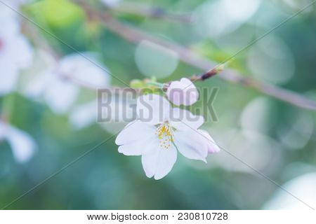 Close up of spring cherry blossom with Flower bud and beautiful soft spring green bokeh background.