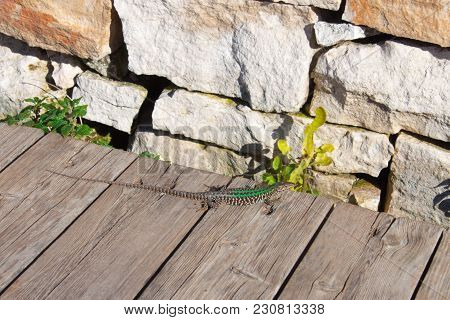 The Green Curious Lizard  With Long Tail Have A Rest And Enjoys The Sun. Creepy In The Wild Nature.