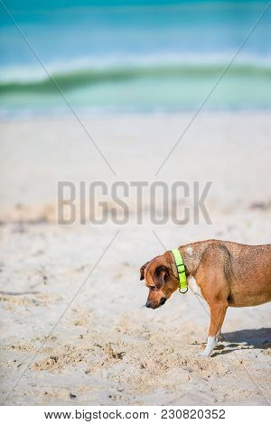 Angry Dog Barking At A Small Crab On The Beach