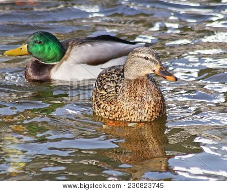 A Mallard Hen And A Mallard Drake Swimming On Calm Blue Waters
