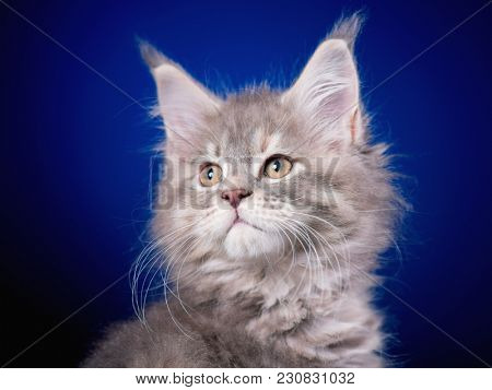 Funny Maine Coon kitten 2 months old looking away. Close-up studio photo of gray little cat on blue background. Portrait of beautiful domestic kitty.