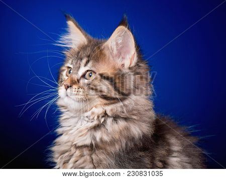 Maine Coon kitten 2 months old sitting on scratching post for cats. Studio photo of beautiful black tabby domestic kitty on blue background.