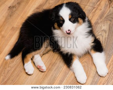 Australian Shepherd purebred puppy, 2 months old looking at camera - close-up portrait. Black Tri color Aussie dog at home.